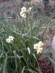 Narcissus in the Huntington Gardens.