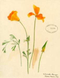 wildflower_poppy